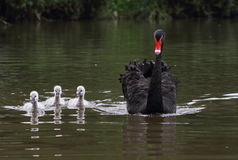 The black swan of mother and child. A black swan and Three Little Swan Stock Photos