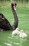 Black swan mum and babies Royalty Free Stock Images