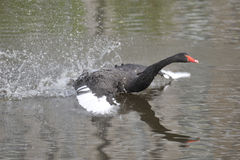 The black swan Stock Photo