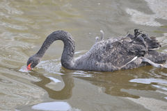 The black swan Royalty Free Stock Photography