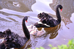 The black swan Stock Photography