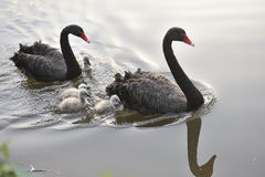 The black swan Royalty Free Stock Images