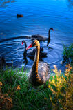 Black swan in nature Stock Images