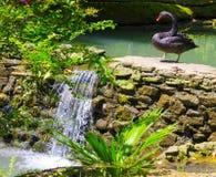 Black Swan. Near the waterfall Stock Photos
