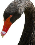Black Swan neck Royalty Free Stock Image