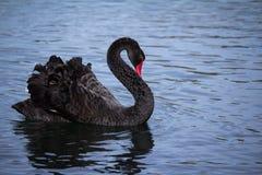 Free Black Swan On Lake Stock Photo - 96231940