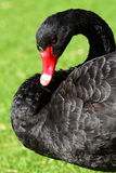 Black Swan over green grass Stock Photo