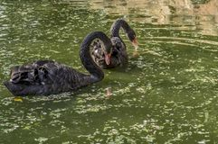 Black Swan Pair on a green pond stock photos