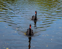 Black swan. A pair of rare black swans in a lake Royalty Free Stock Photography