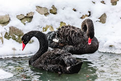 The black swan. A pair of black swans in the winter lake Royalty Free Stock Photos