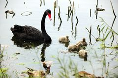 Black swan parents and its children Royalty Free Stock Photos