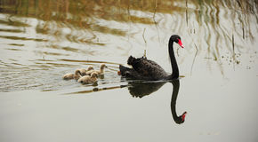 Black swan parents and its children Stock Photo