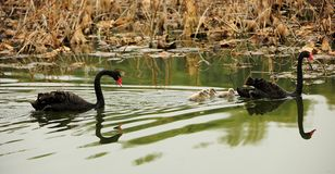 Black swan parents and its children Royalty Free Stock Image