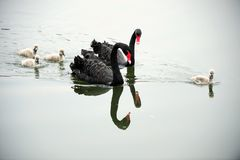 Black swan parents and its children Stock Photos
