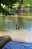 Black swan in the park in Leeds Castle Stock Images