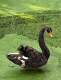 Black swan Royalty Free Stock Photography