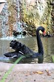 Black Swan at the Phoenix Zoo in Phoenix, Arizona in the United States. Velvet textured Black Swan at the Phoenix Zoo in Phoenix, Arizona in the United States royalty free stock photo