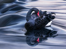 The Black Swan. Black swan, photo by Adrian Borda Stock Photo