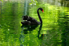 Black swan in the pond Royalty Free Stock Photos