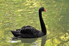 Black swan in a pond royalty free stock photos