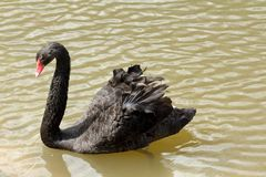 Black swan on a pond Royalty Free Stock Photos