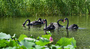 The black swan in the pond Royalty Free Stock Photography