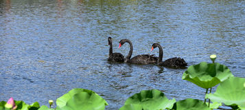The black swan in the pond Royalty Free Stock Photo
