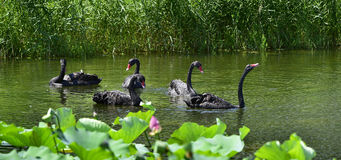 The black swan in the pond Royalty Free Stock Image