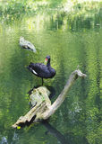Black swan in the pond Royalty Free Stock Photo