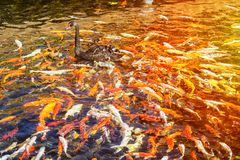 Black Swan in the pond with Japanese koi fish, Thai village, Lor Royalty Free Stock Photos