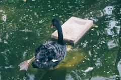 Black swan on pond in Mysore, India. Black swan on pond at Mysore, India stock photo