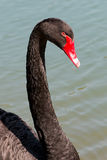 Black Swan in the pond Stock Images