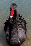 Black Swan in the pond Stock Photos