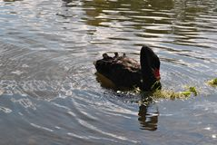 Black swan in a pond. On a sunny day Royalty Free Stock Image