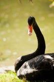 Black swan portrait Stock Images