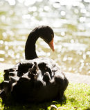 Black swan portrait Royalty Free Stock Image