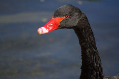 Black swan portrait Royalty Free Stock Photos