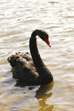 Black swan portrait cygnus atratus Royalty Free Stock Photo