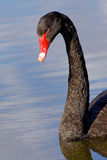 Black Swan Portrait Stock Image