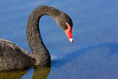 Black Swan Portrait Royalty Free Stock Photo