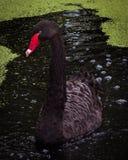 Black Swan Portrait in Pond stock images