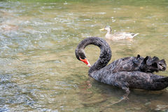 Black swan Royalty Free Stock Image