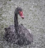 The black swan in the rain. With the attentive gaze holding the shower with pleasure Royalty Free Stock Image