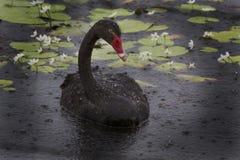 Black Swan in the rain Somerset Dam Stock Photos