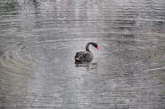 Black Swan in the rain in winter Park in Dusseldorf Stock Photos