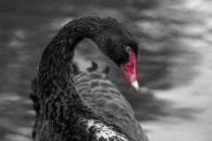 Black Swan. Rare beautiful bird. Stock Photos