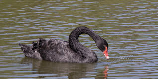 Black swan with a red beak Royalty Free Stock Image