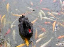 Black Swan with Red Beak in Koi Fish Pond, China. The black swan is a large waterbird. Black swans are large birds with mostly black plumage and red bills. They Royalty Free Stock Image