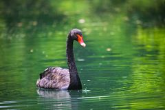 Black swan with a red beak In The Pond Stock Photos