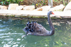 Black Swan with red beak swimming in a pond Stock Photo